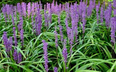 Shop Royal Purple Liriope - 1 Gallon