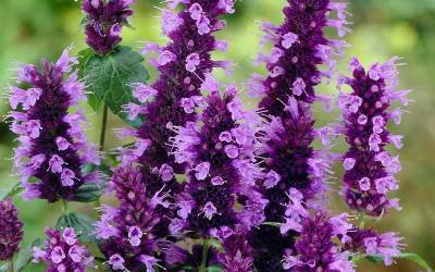 Shop Little Adder Agastache - 1 Gallon