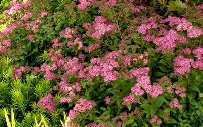 Shop Little Bonnie Dwarf Spiraea - 2 Gallon Pot
