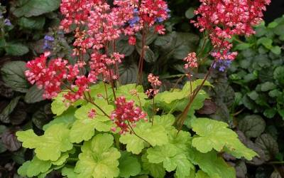 Shop Little Cutie Sweet Tart Heuchera - Coral Bells - 1 Quart