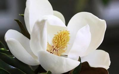 Shop Little Gem Dwarf Southern Magnolia - 3 Gallon Pot