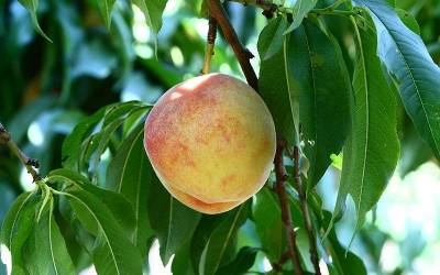 Shop Loring Peach - 5 Gallon