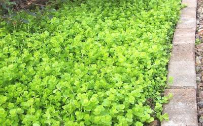 "Shop Aurea Golden Creeping Jenny - 10 Count Flat of 4.5"" Pots"