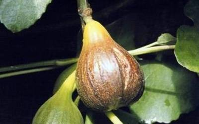 Shop Magnolia Fig  - 1 Gallon