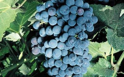 Shop Mars Seedless Grape - Vitis labrusca 'Mars Seedless' - 1 Gallon