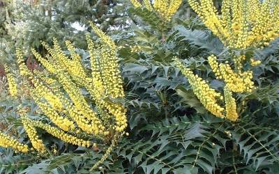 Shop Marvel Mahonia - 2 Gallon