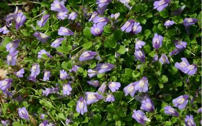 Shop Purple Mazus - 3 Count Flat of Pint Pots