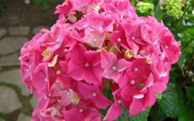 Shop Merritts Supreme Hydrangea - 1 Gallon