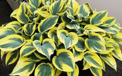 Shop Mini Skirt Hosta Lily - 8 Count Flat of Quart Pots