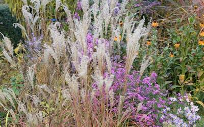 Shop Little Miss Miscanthus  - 1 Gallon