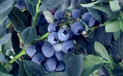 Shop Misty Southern Highbush Blueberry - 1 Gallon