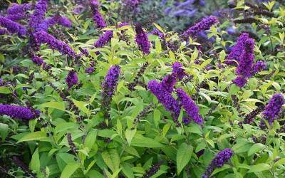 Shop Monarch Crown Jewels Butterfly Bush - 1 Gallon