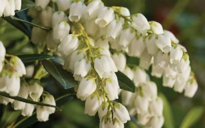 Shop Mountain Snow Pieris - 2 Gallon Pot