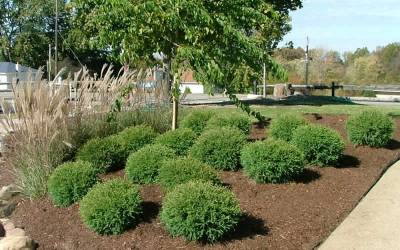 Shop Mr. Bowling Ball Arborvitae - 1 Gallon