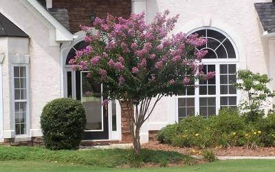 Buy Fauriei Hybrid Indian Crape Myrtle Series Online