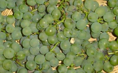 "Shop Niagra Grape - 1 Gallon - 18-36"" Height"