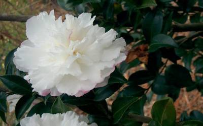Shop October Magic Snow Camellia - 2 Gallon