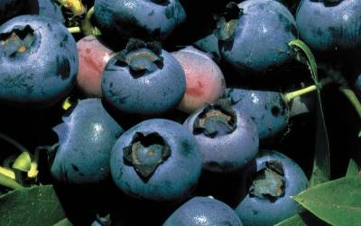 Buy Fruit Producing Shrubs Online