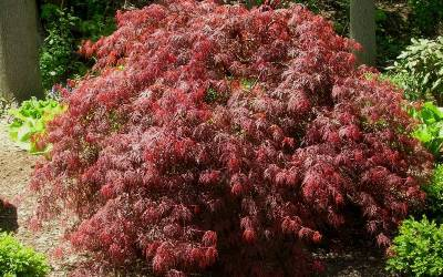 Shop Orangeola Japanese Maple - 3 Gallon