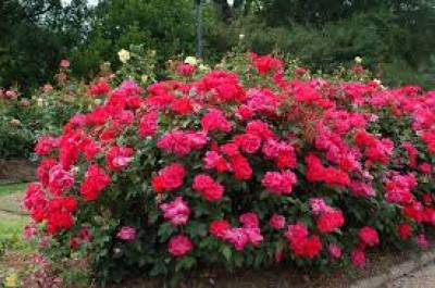 Buy Rose Bushes Online