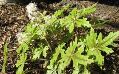 Tiarella - Foam Flower