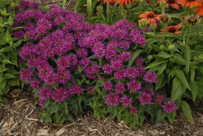 Shop Pardon My Purple Bee Balm - 1 Gallon