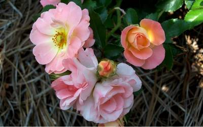 Shop Peach Drift Rose - 1 Gallon