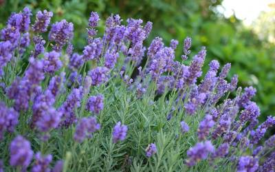 Shop Phenomenal English Lavender - 3 Count Flat Of Pint Pots