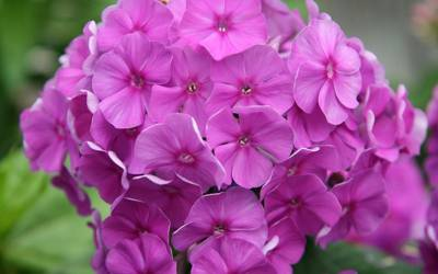 Shop Flame Purple Dwarf Garden Phlox - 1 Pint