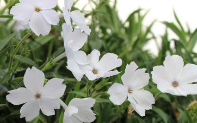 Shop Phlox Paparazzi  Adele - 8 Count Flat of Quart Pots