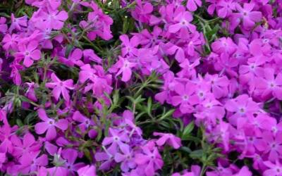 Groundcover Plants For Small Areas And Borders