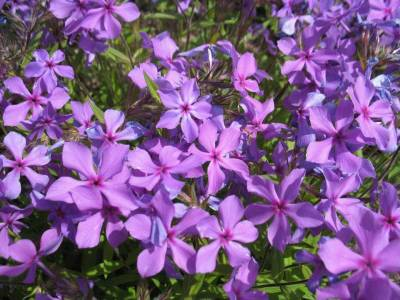 Shop Phlox Paparazzi Jagger - 8 Count Flat of Quart Pots