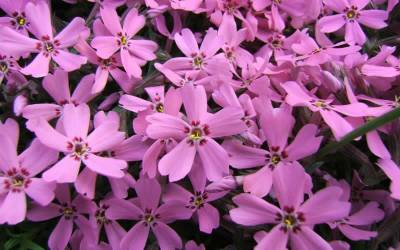 Shop Pink Creeping Phlox - 3 Count Flat of Pint Pots