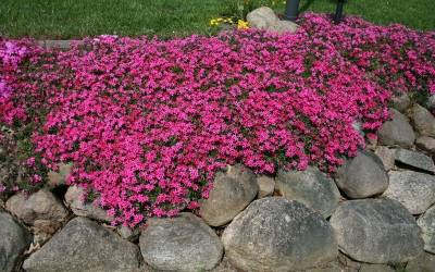"Shop Phlox Subulata 'Scarlet Flame'  - 10 Count Flat of 4.5"" Pots"
