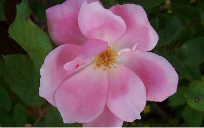 Shop Pink Knock Out Rose - 3 Gallon
