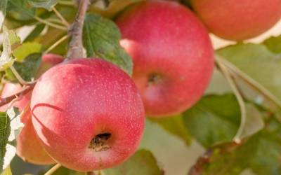Shop Pink Lady Apple - 5 Gallon
