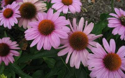 Shop Prairie Splendor Echinacea - Coneflower - 3 Count Flat of Pint Pots