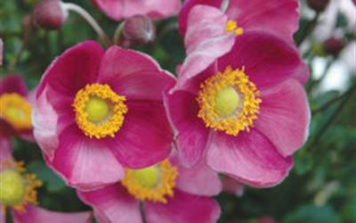 Shop Pretty Lady Diana Anemone - Windflower - 1 Gallon