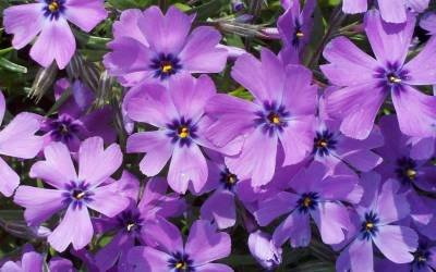 Buy Evergreen Perennials Online