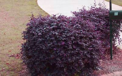 Shop Purple Diamond Loropetalum - 2.5 Quart