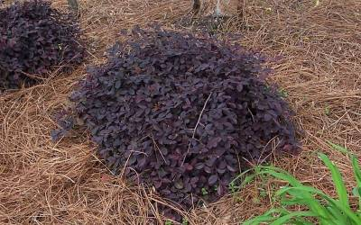 Shop Purple Pixie Loropetalum - 2.5 Quart