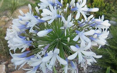 Shop Queen Mum Agapanthus - 2.5 Quart