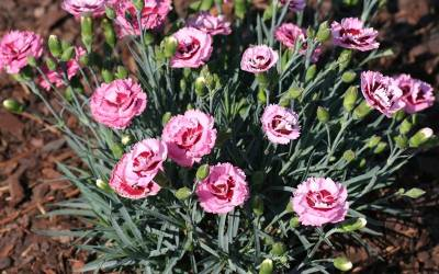 Shop Raspberry Surprise Dianthus - 2.5 Quart