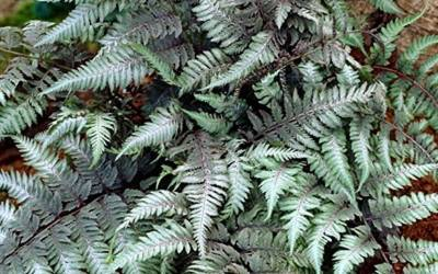 Shop Red Beauty Painted Fern - 1 Gallon
