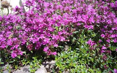 Buy Thymus - Creeping Thyme Online