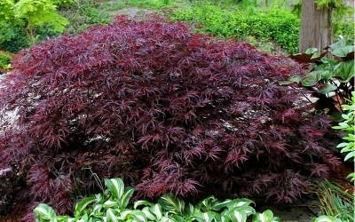 Japanese Maples 1-5 Feet