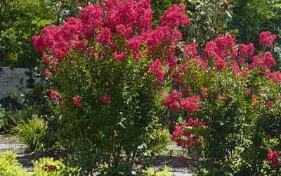 Buy Long Blooming Trees Online