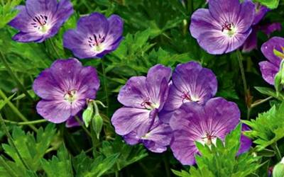 Shop Rozanne Cranesbill - 1 Gallon