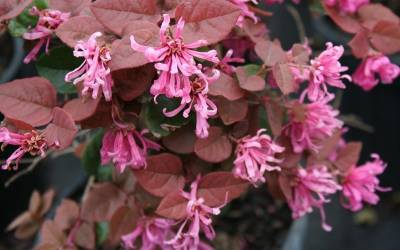 Shop Ruby Loropetalum - 1 Gallon