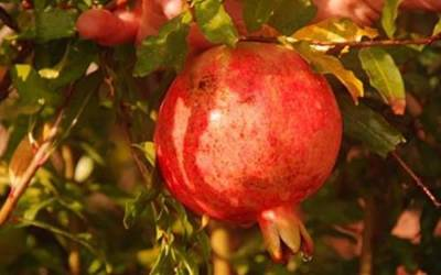 Shop Salavatski Pomegranate - 1 Gallon